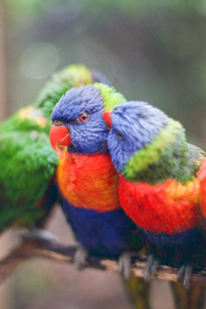 Lorikeets preening each other near at Parrot Mountain | pushed Fuji film