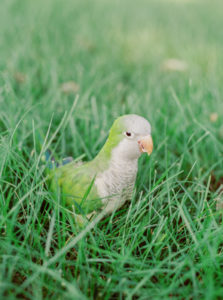 Petri, a Quaker Parrot sitting in the grass