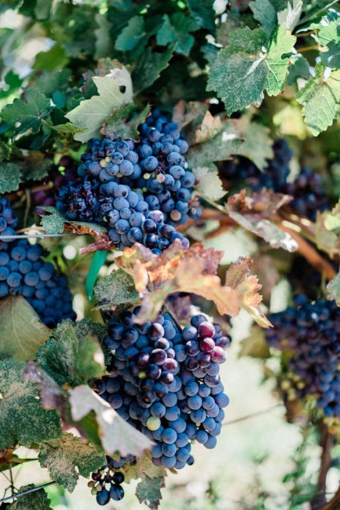 grapes at a vineyard in Palisade, CO