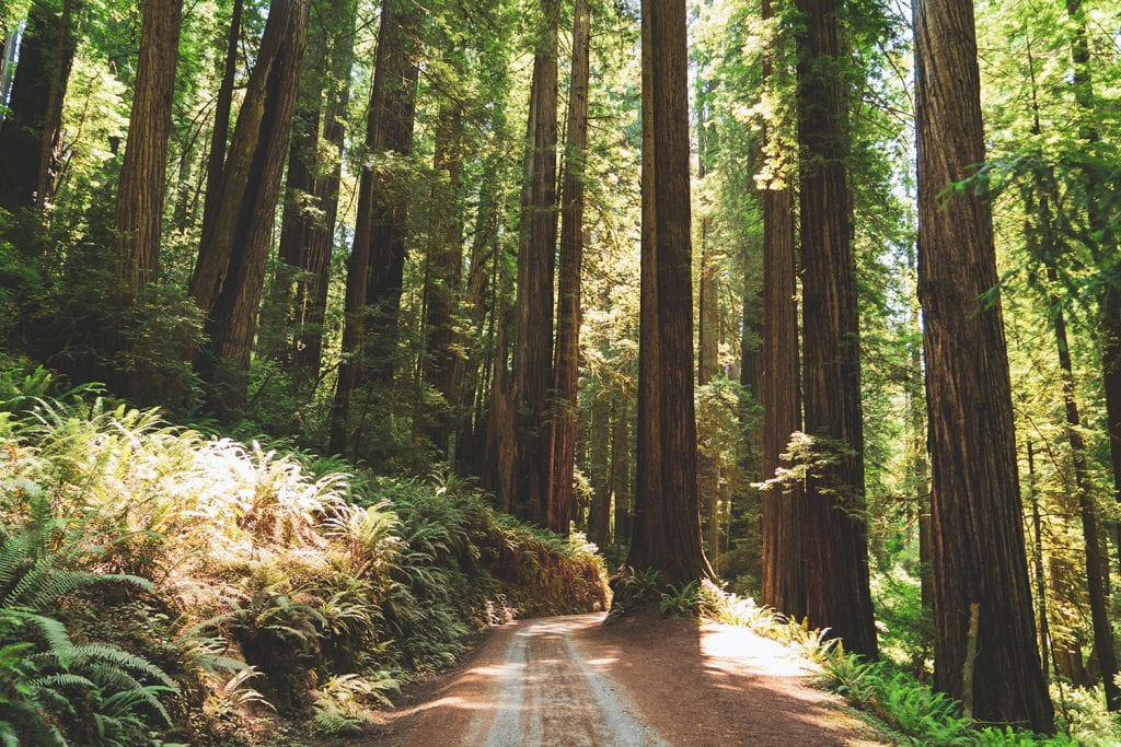 trees in Redwoods National Park