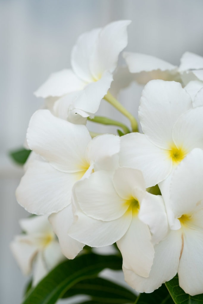 Print for sale: white tropical flowers in Hawaii