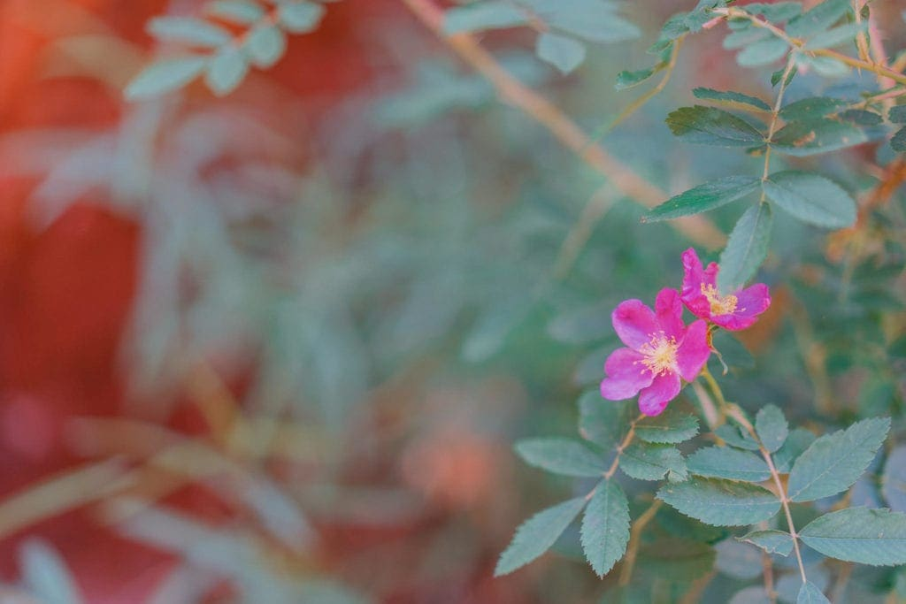 Print for sale: wild rose on a hike in Moab, Utah