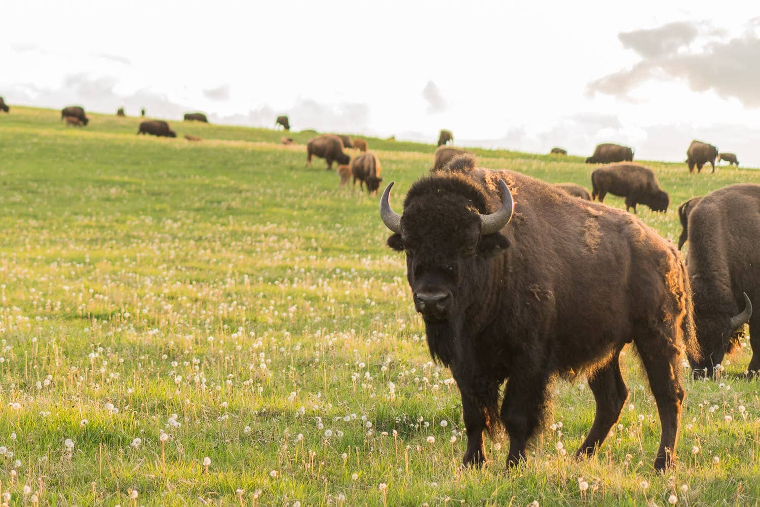 bison grazing in Alberta, Canada, leave no trace principles protect wildlife