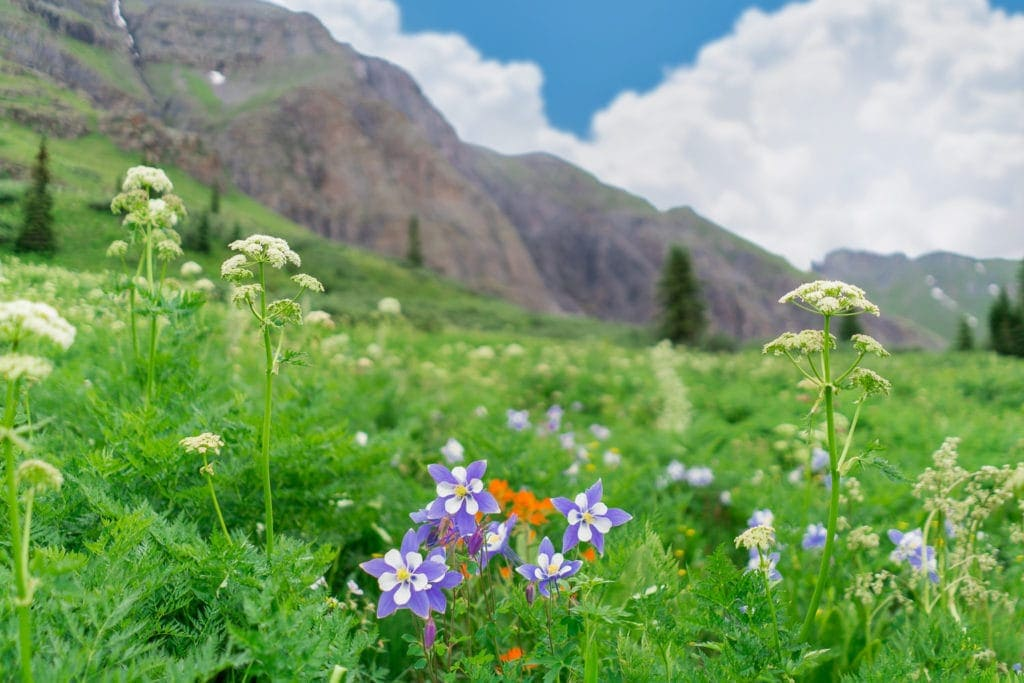 wildflowers in San Juan Mountains